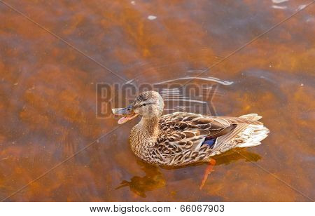 Mallard Anas Platyrhynchos Duck Swims Quacking