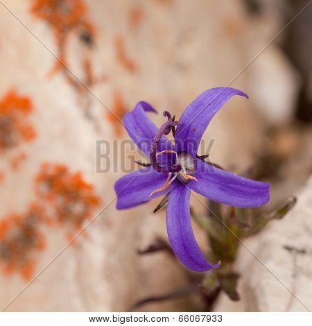 Alpine Plant Inky Gentain Gentiana Glauca Flower