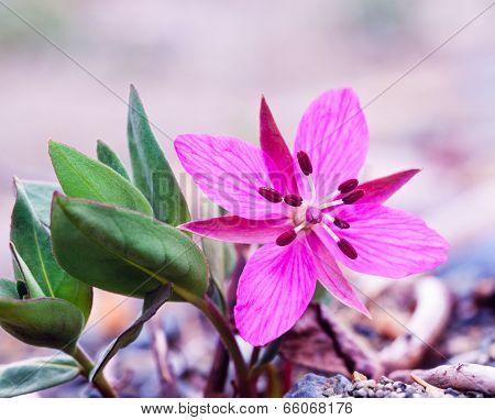 Dwarf Fireweed Chamerion Latifolium Flower
