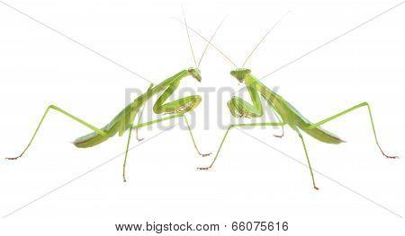 Praying mantis pair preparing to duel