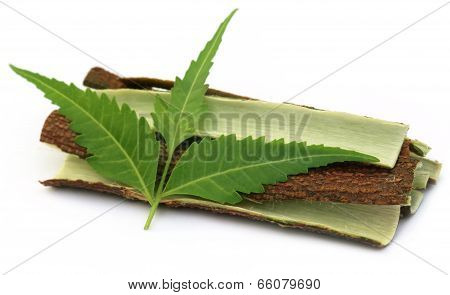 Tree Bark Of Medicinal Neem With Leaves