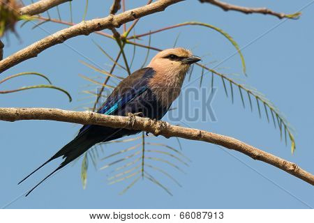 A Blue-bellied Roller (coracias Cyanogaster) Perched On A Branch