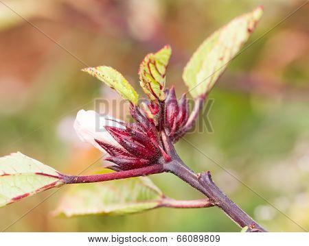 The Roselle (hibiscus Sabdariffa)