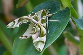 stock photo of moth  - Oleander Hawk-moth or army green moth butterfly on green leaf