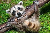 stock photo of raccoon  - A Baby Raccoon Learning to climb on a branch - JPG