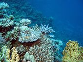 picture of fire coral  - colorful coral reef with hard corals at the bottom of tropical sea on blue water background - JPG