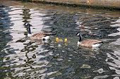 pic of west midlands  - Canada Geese and goslings on the canal Gas Street Canal Basin Birmingham West Midlands England UK Western Europe - JPG