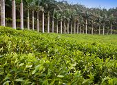 stock photo of mauritius  - Tea plantation. Mauritius.Landscape in a sunny day