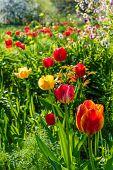 picture of garden eden  - Beautiful tulip meadow in spring garden selective focus - JPG