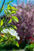 stock photo of garden eden  - Branches with white flowers on a background of green garden - JPG
