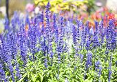 stock photo of purple sage  - Blue salvia purple flowers bloom in season - JPG