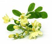 picture of moringa  - Close up of Edible moringa flower over white backgrokund - JPG
