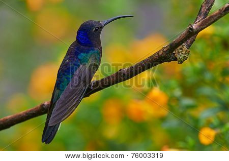 Violet Sabrewing Male Perched On A Branch