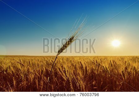 golden field with harvest and sunset