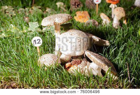 Mushroom Echinoderma Asperum