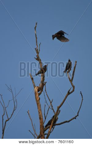 Starlings Bird (sturnus Vulgaris)