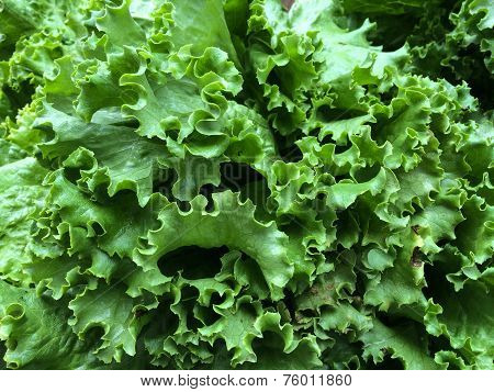 Fresh green lettuce at the farmers