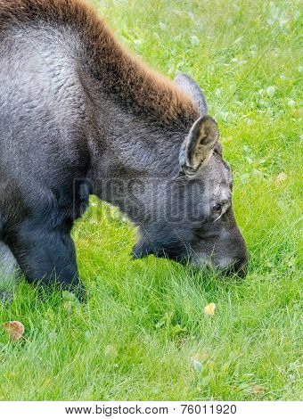Moose Muzzle In Grass
