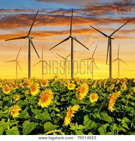 Sunflower field with wind turbines