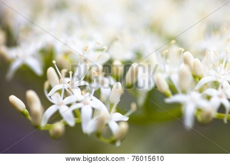 Close Up Of The Dogwood White Flowers