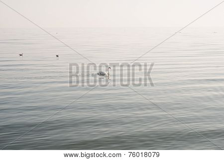 Swan and seagulls on the sea