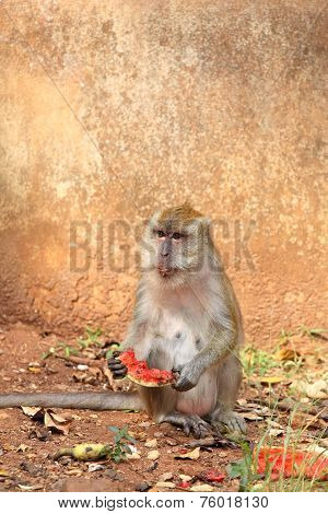 Macaque  (macaca Fascicularis)  Thailand, Wat Thumsa