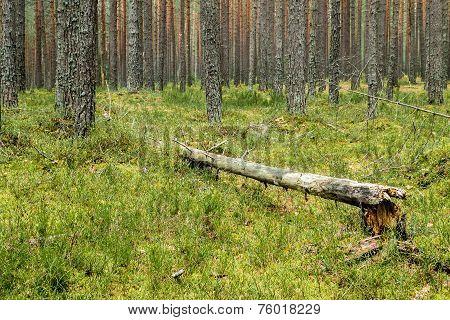 Fallen Down Rotten Tree