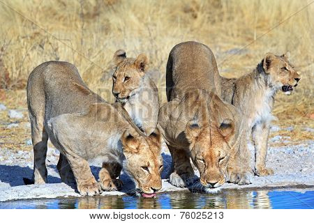 Pride of Lions drinking