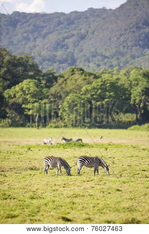 Wild zebras grazing in Africa