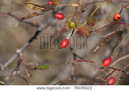 Wild rose hips