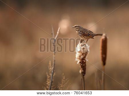 Sparrow Cattail