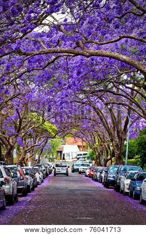 Jacaranda trees in full bloom