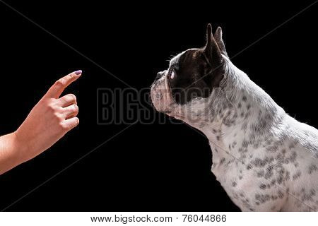French bulldog waiting for command isolated on black background