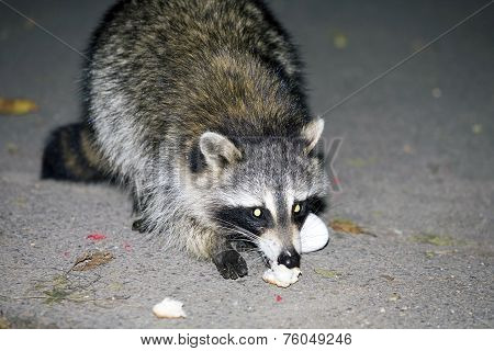 Raccoon At Night Eating Food