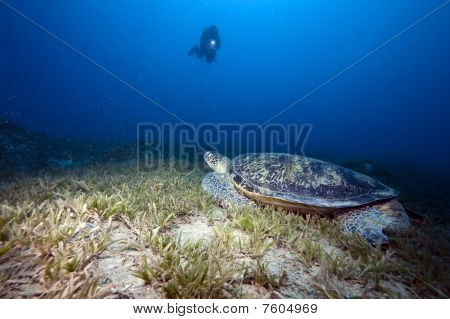 Green Turtle, Sea Grass And Diver