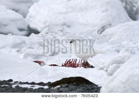 Snowy Sheathbill (chionis Albus)