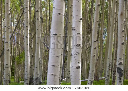 Birch tree with kokopelli