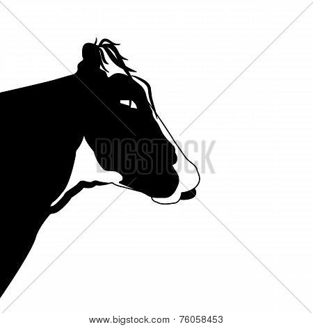 Portrait head of black cow on white background