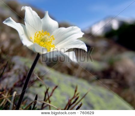 white mountain flower