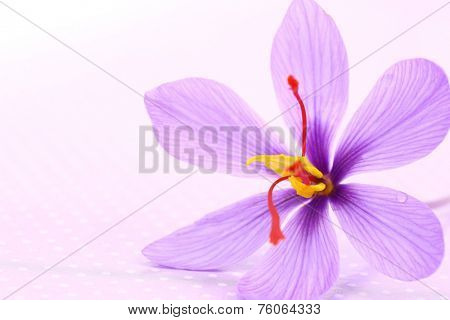 Close up of saffron flowers