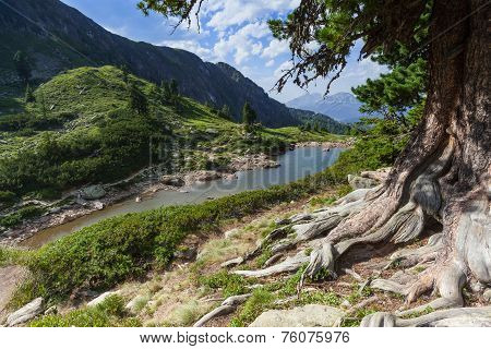 Stone Pine In The Mountains