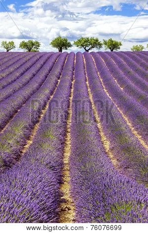Vertical View Of Lavender Field With Cloudy Sky