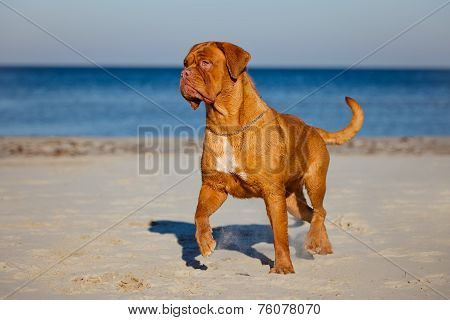 active dogue de bordeaux dog on a beach