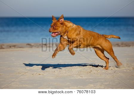 active dogue de bordeaux dog on a beach
