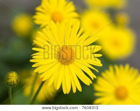 Doronicum flores de verano amarillo, Macro
