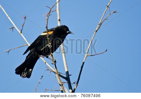Red-winged Blackbird Perched In Tree