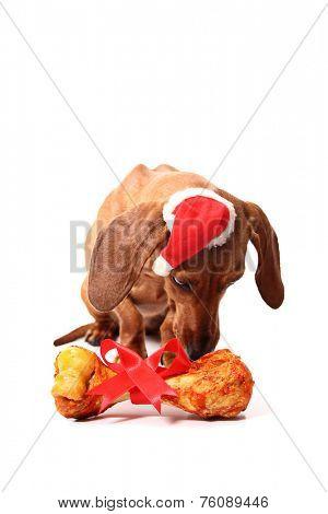 An isolated dachshund dog smelling its xmas gift bone.