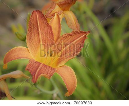 Daylily Hemerocallis In Spring