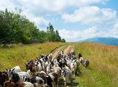 stock photo of billy goat  - Flock of goats on the dirt road in the Carpathian Mountains - JPG