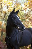 picture of beautiful horses  - A beautiful black riding horse with a white blaze in front of blue sky - JPG